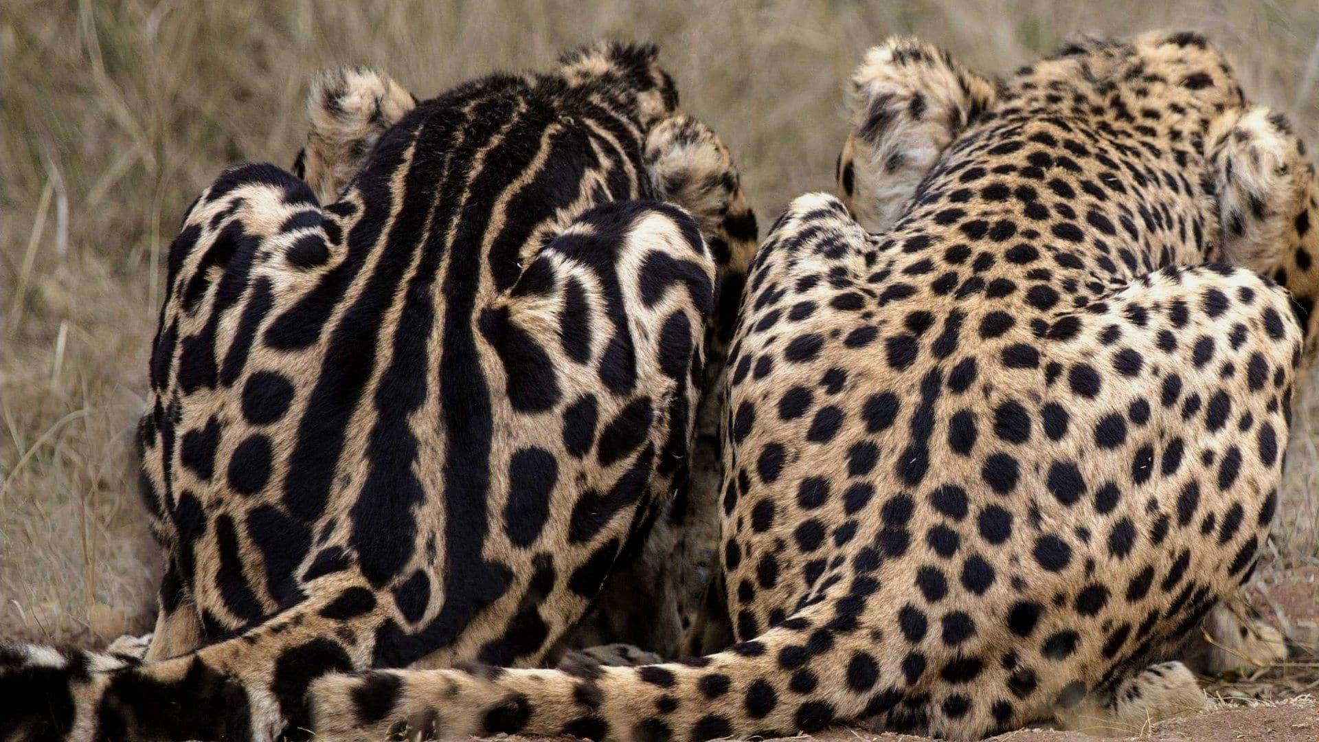 Сравнение окраса обычного гепарда и королевского