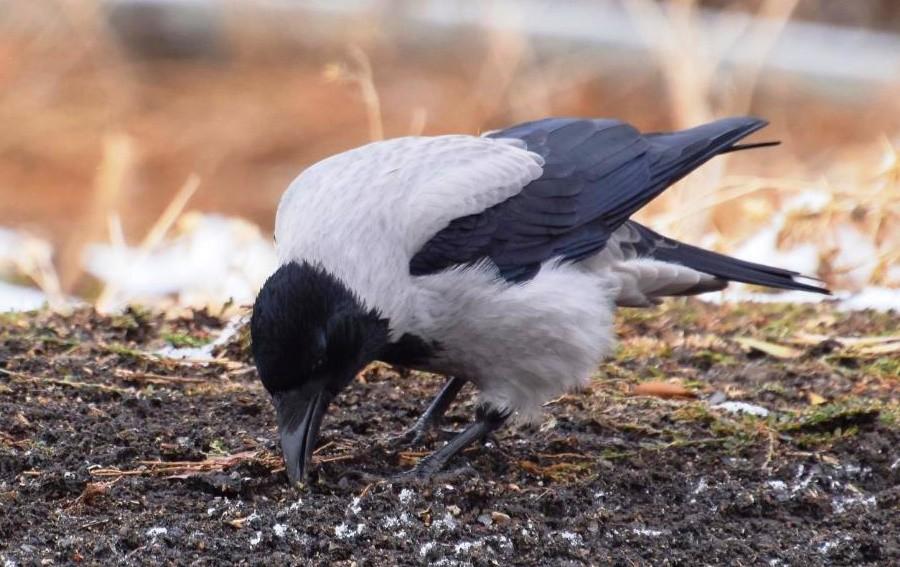В искусственной среде обитания ворона живет гораздо дольше