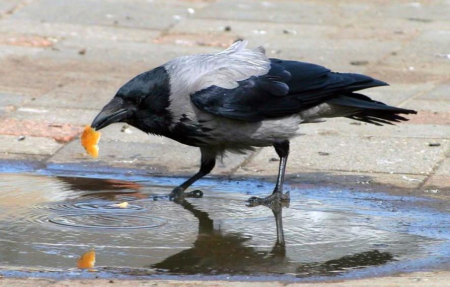 Ворона не против полакомиться хлебом