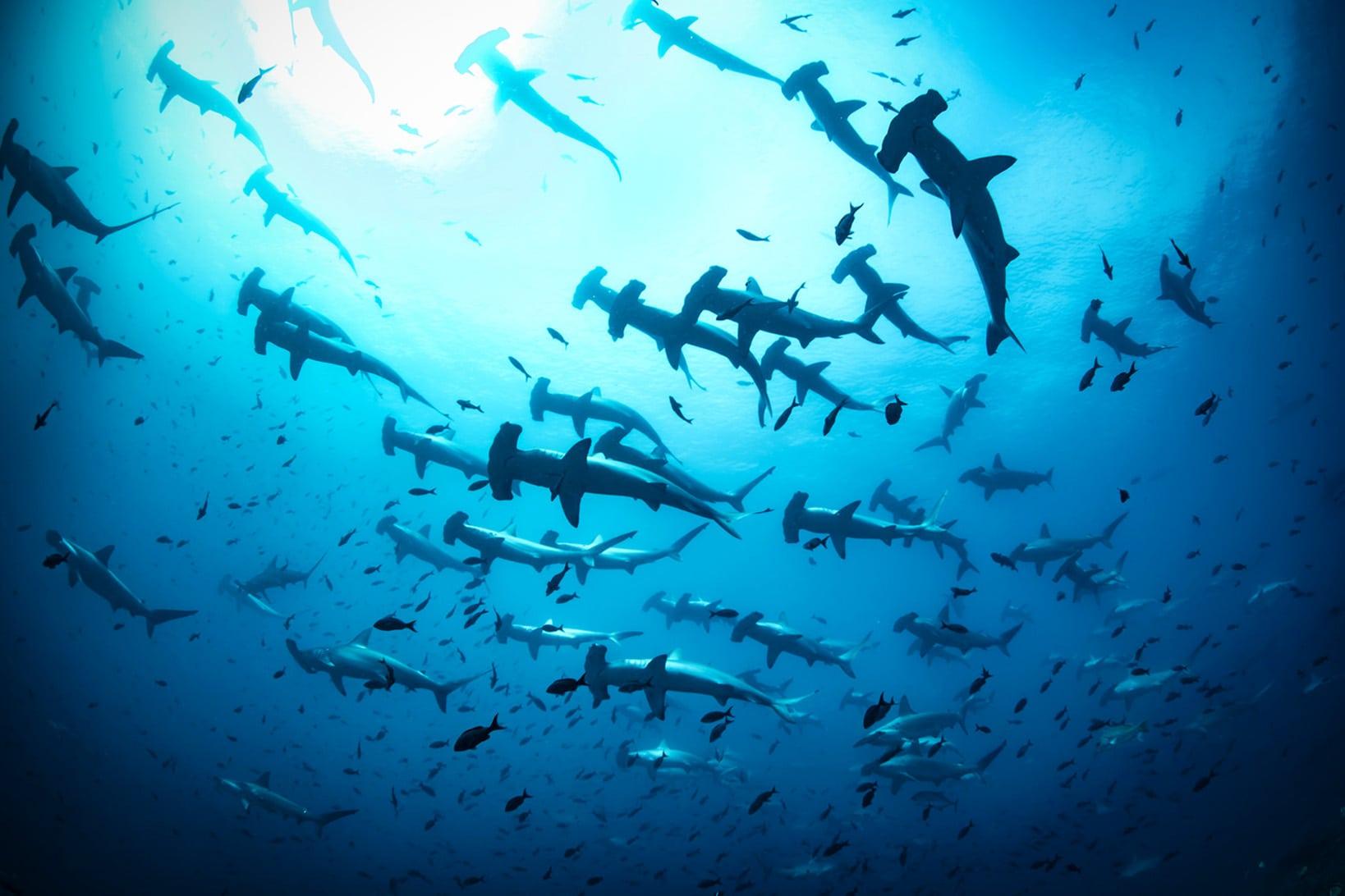 Стая акул-молотов
