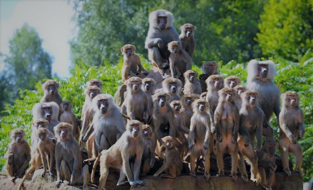 Большинство видов обезьян живут стаями