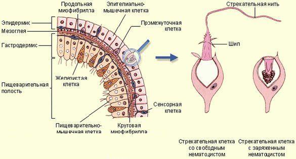 Строение тела стрекающего