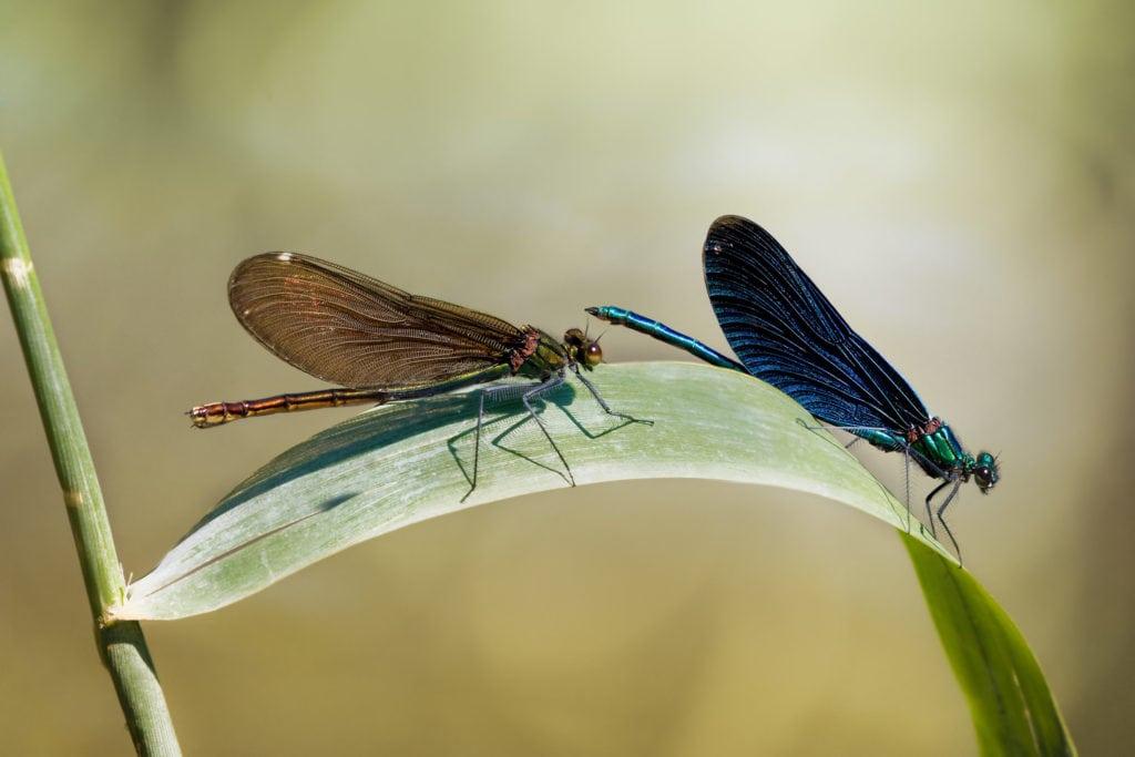 Красотка-девушка - стрекоза. Самец (справа) и самка