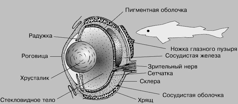 Строение глаза рыбы
