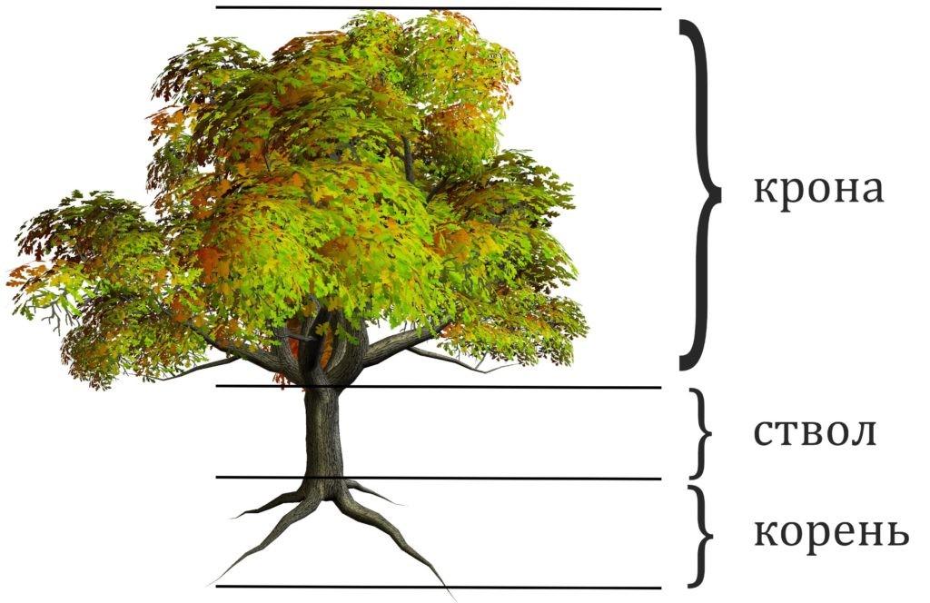 Строение дерева