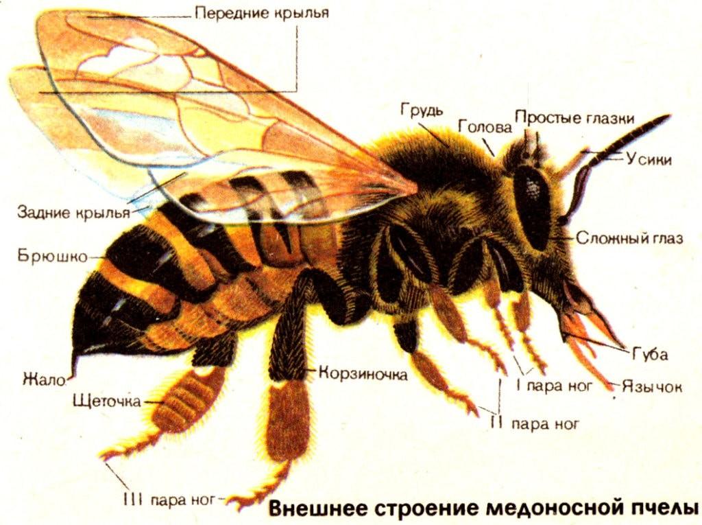 Внешнее строение пчелы