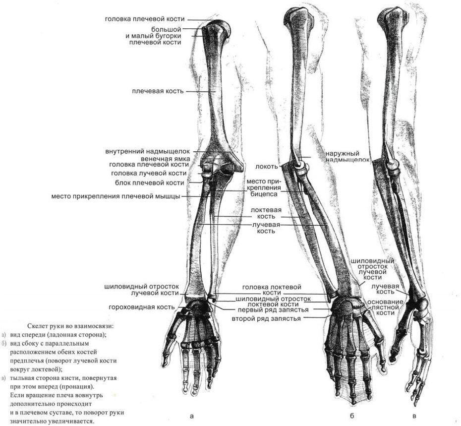 Скелет руки по взаимосвязи