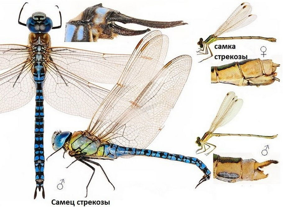 Самец и самка стрекозы