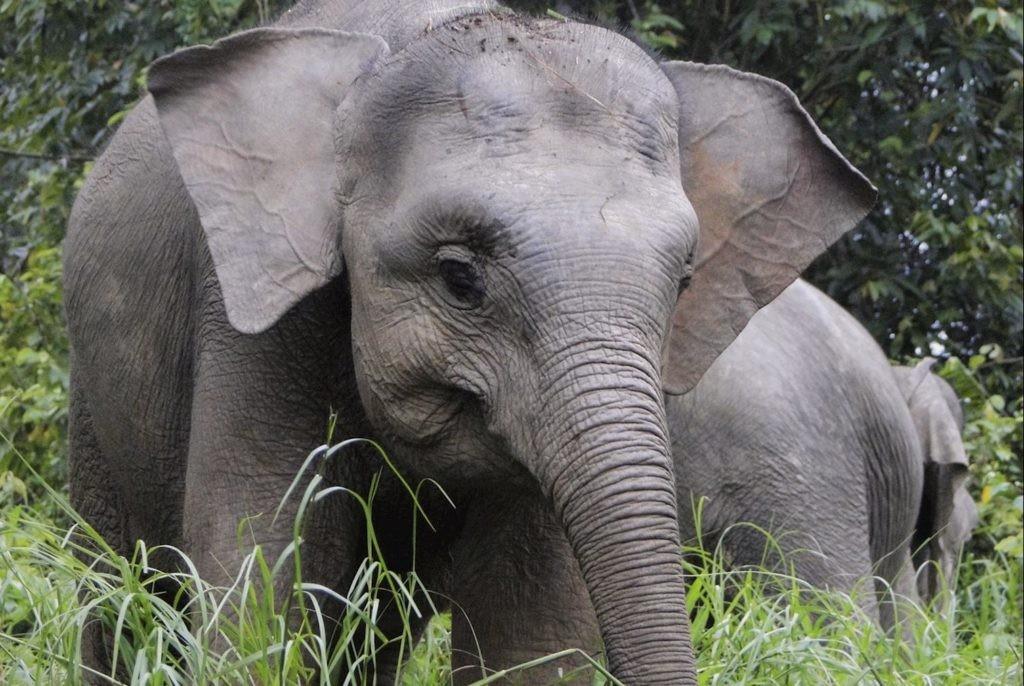 Слон с острова Борнео