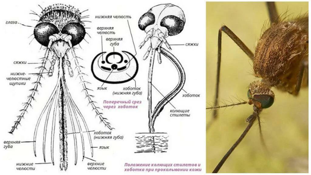 Строение ротовых органов комара