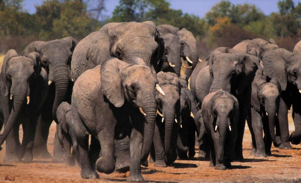 Стадо слонов, состоящее из слонят и самок