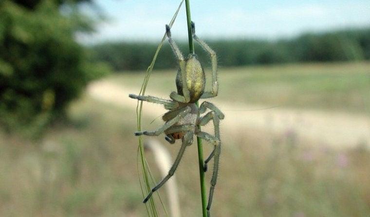Сумочный паук