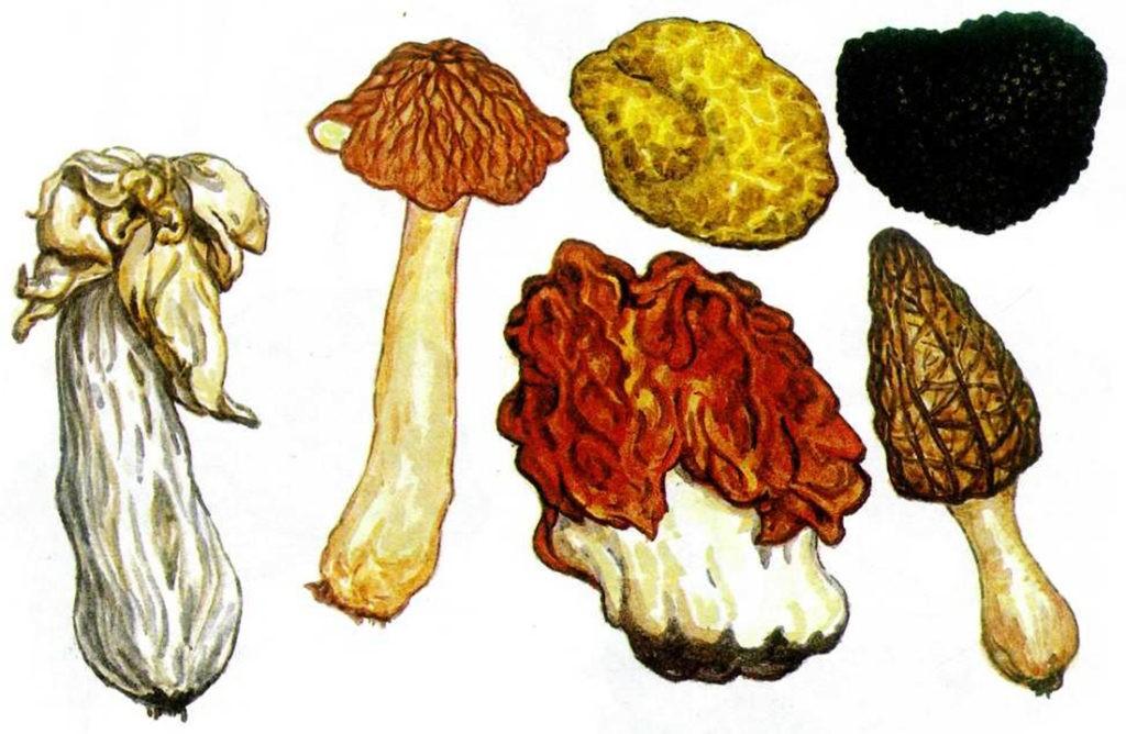 Сумчатые грибы