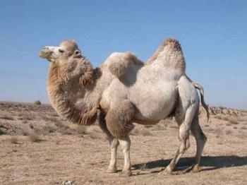 Свисающие горбы верблюда