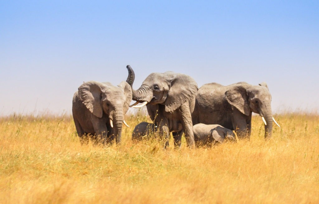 Саванные слоны