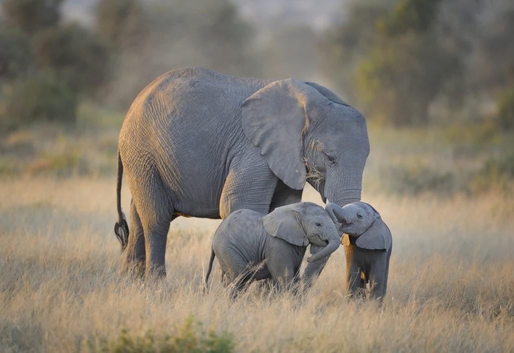 Саванный слон и слонята