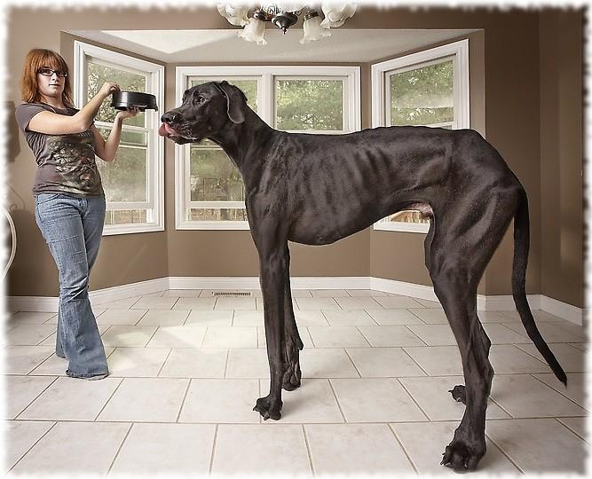 Самая высокая собака в мире - немецкий дог Зевс