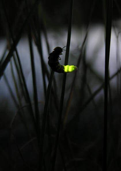 Светящийся светлячек