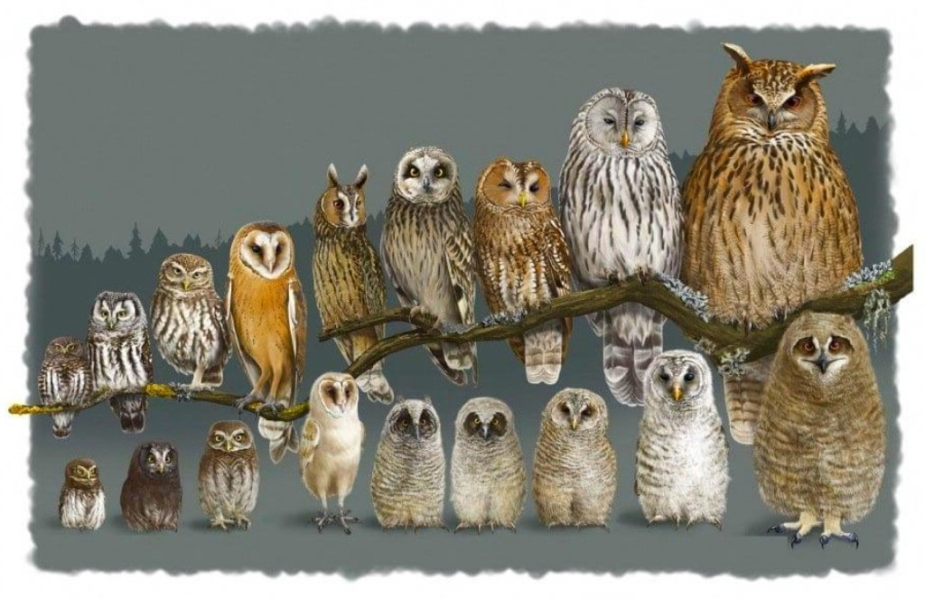Сравнение размеров разных видов сов