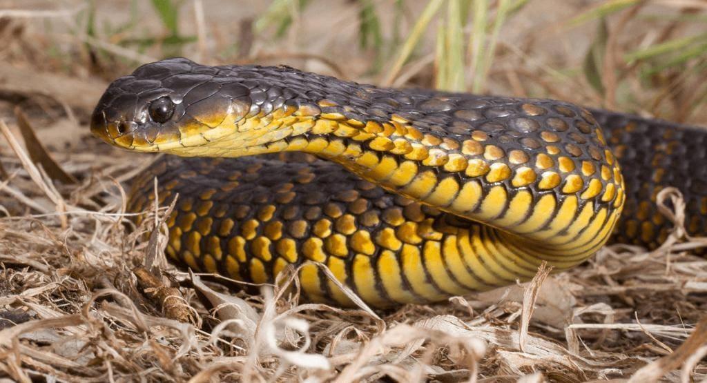 Австралийская тигровая змея