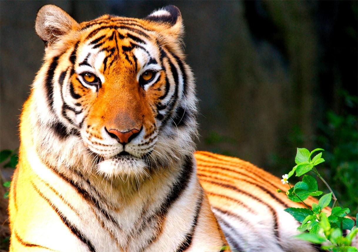 Тигр - описание, ареал, питание, подвиды, размножение, враги, фото и видео