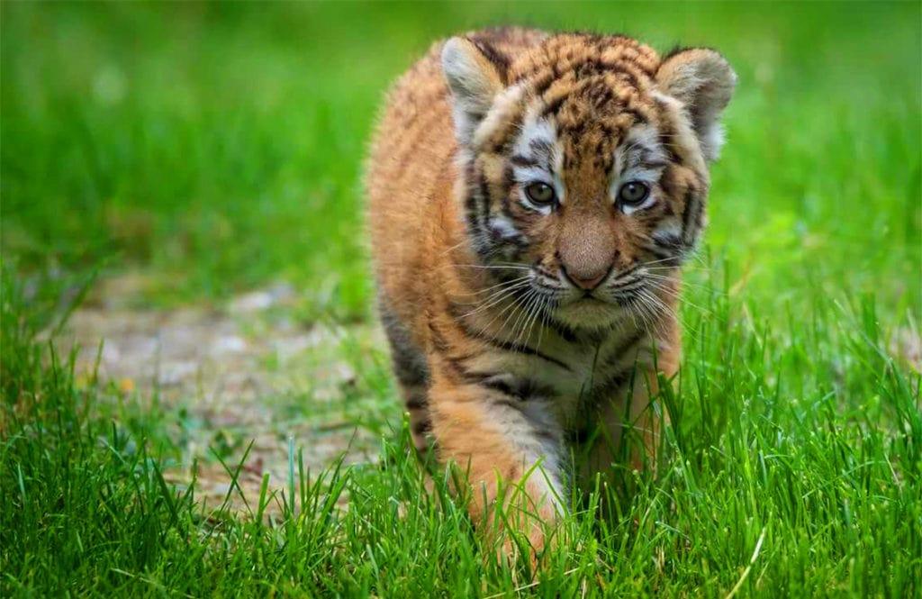 Подросший тигренок