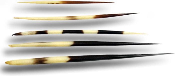 Различные типы иголок дикобраза