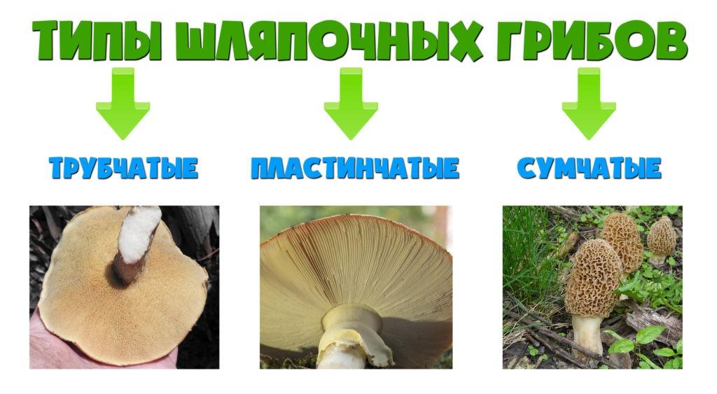 Типы шляпочных грибов