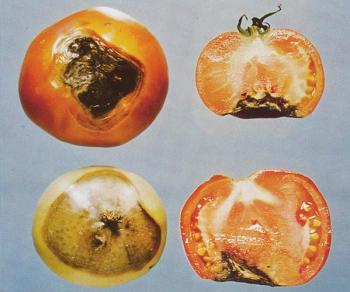 Больной томат в разрезе