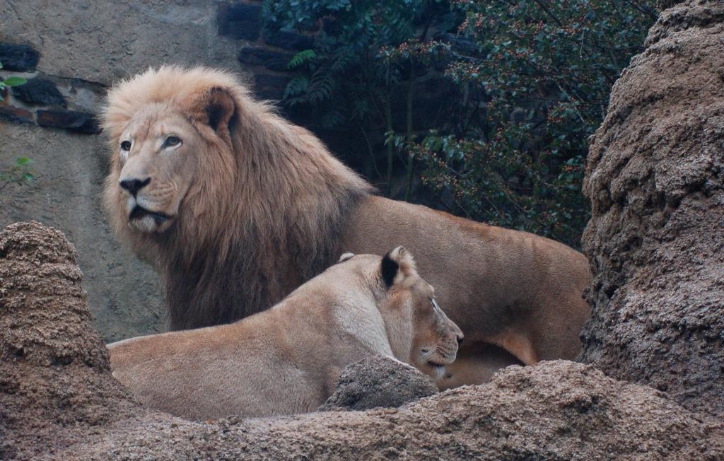 Трансваальский лев