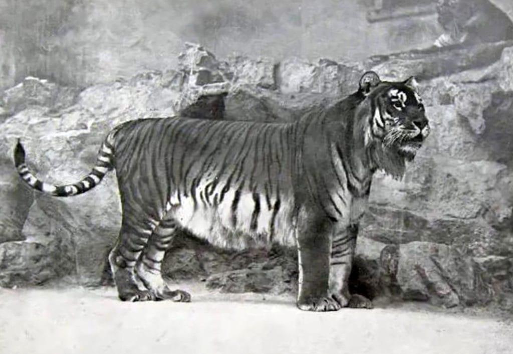 Закавказский (туранский тигр)