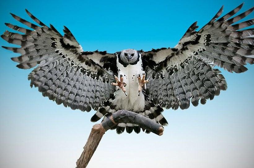 Южноамериканская гарпия – птица из мифов
