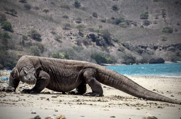 Ученые разгадали загадку выживания комодских драконов
