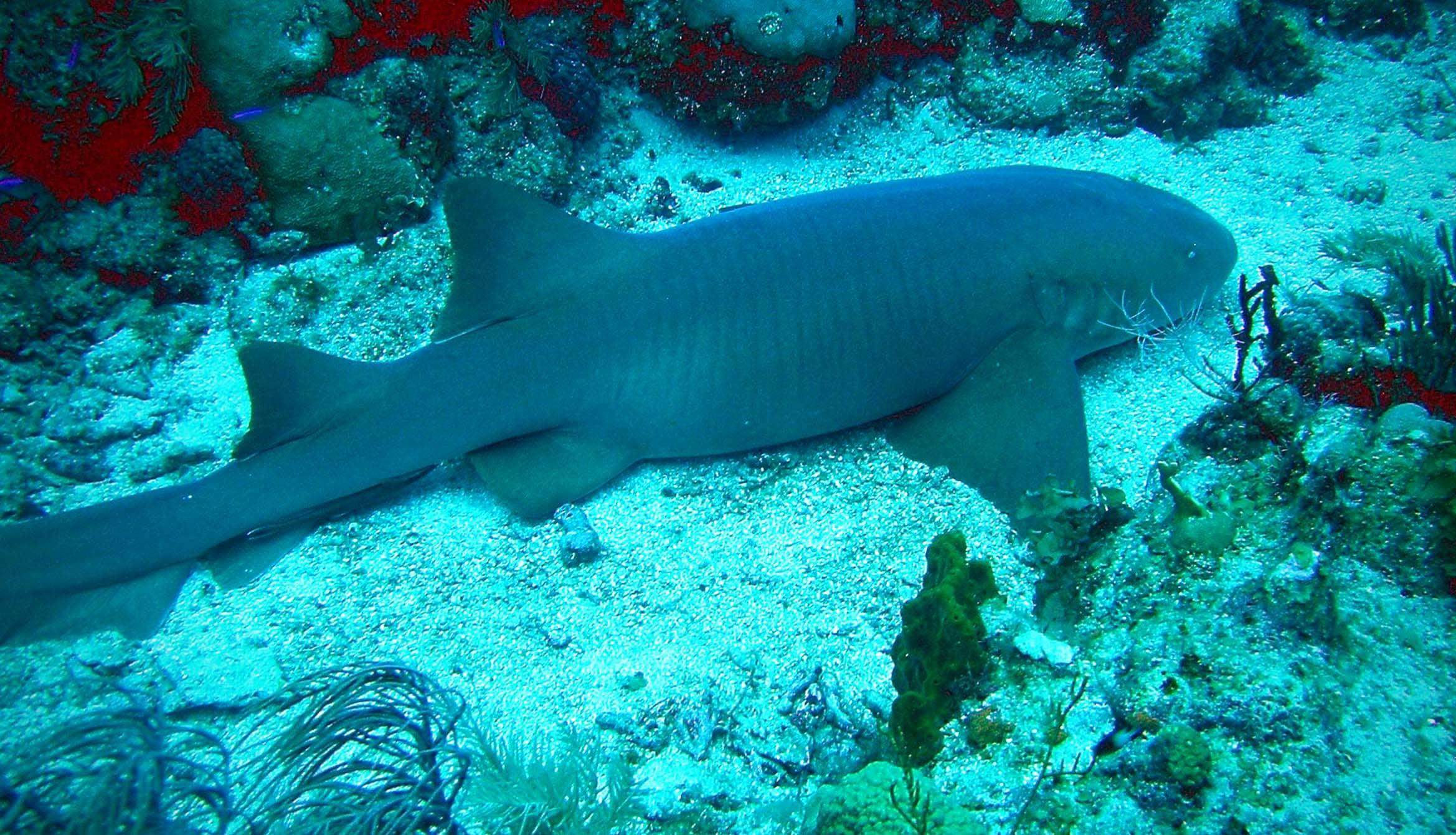 Усатая акула-нянька отдыхает на дне