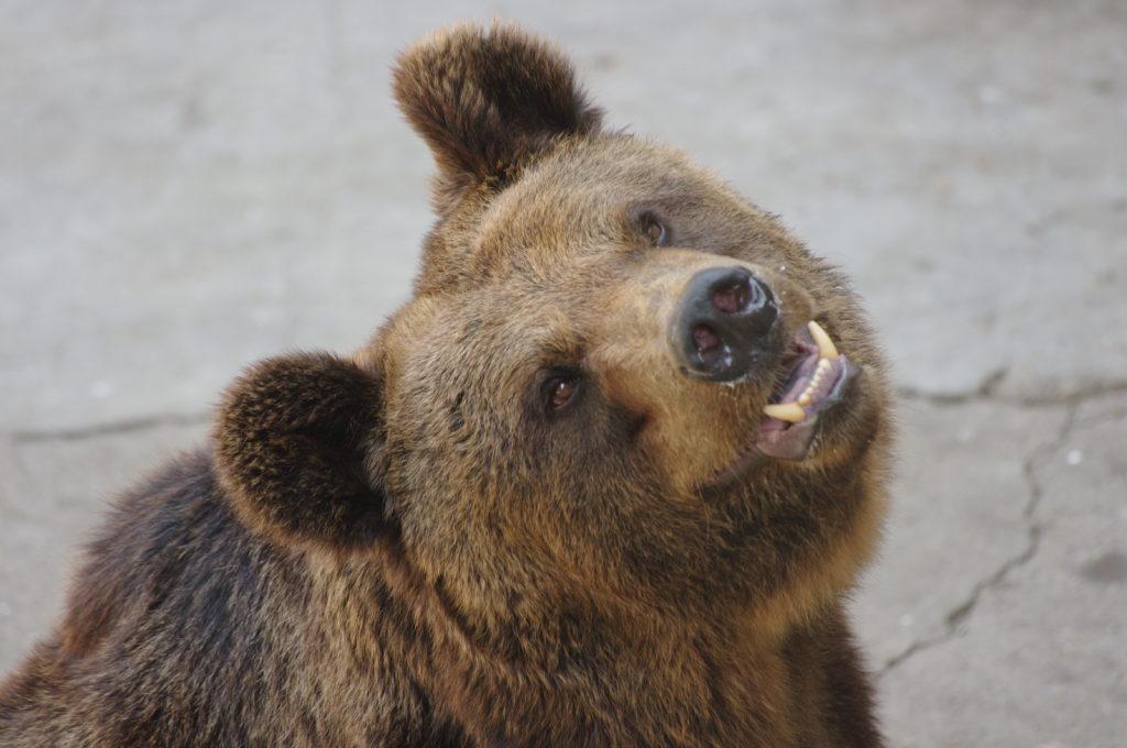 Японский или уссурийский бурый медведь