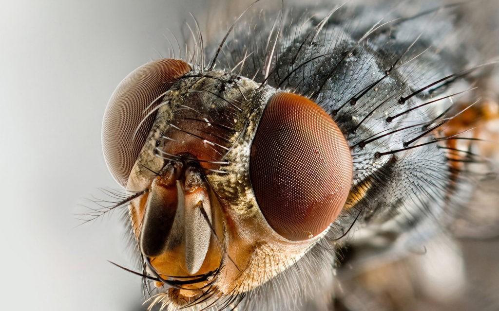 Усики на голове мухи