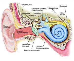 Устройство уха