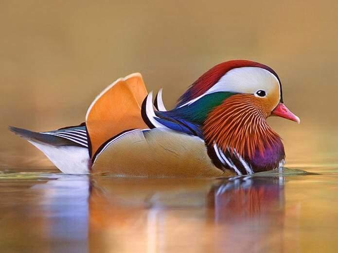 Сообщение о мандаринке птице
