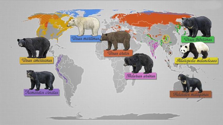 Виды медведей и ареал обитания