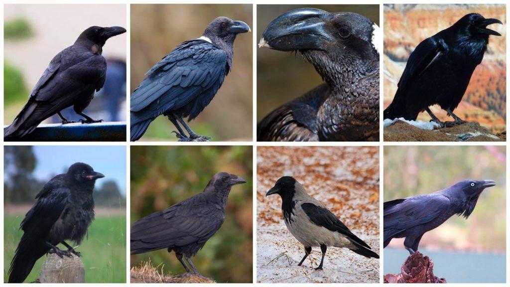 Виды ворон