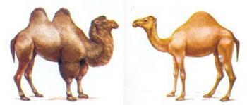 Одногорбый и двугорбый верблюды