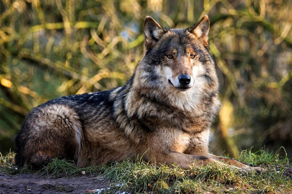 Внешний вид волка серого