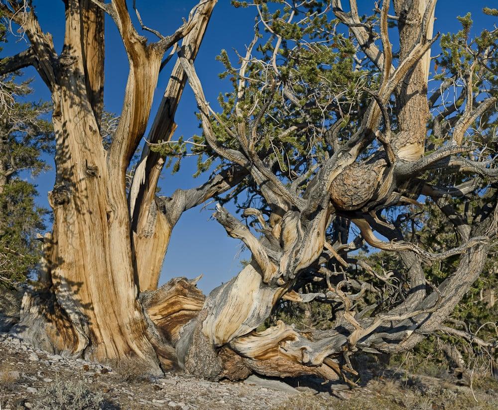 Дерево Мафусаил