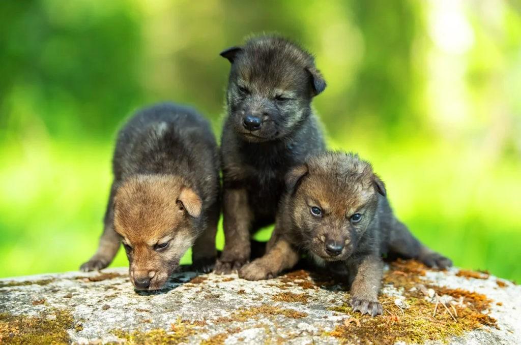 Волчата (возраст до 1 месяца)