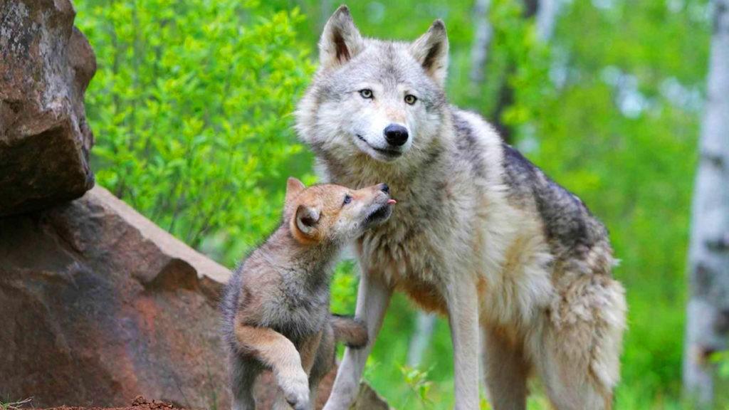 Волчица с детенышами