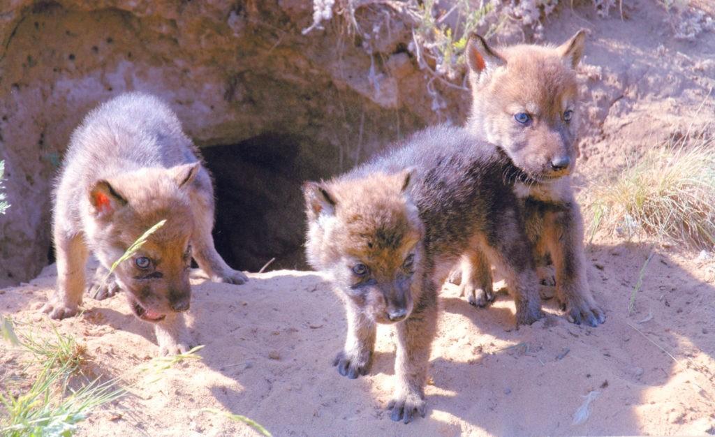 Волчата у логова