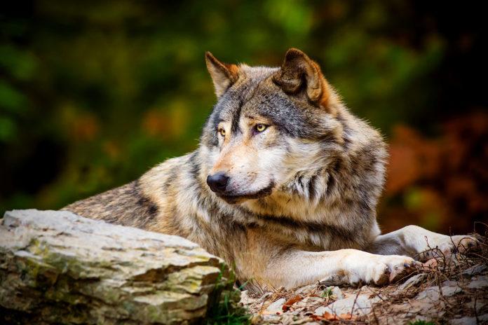 Волк: описание, ареал, питание, подвиды, размножение, враги, фото и видео