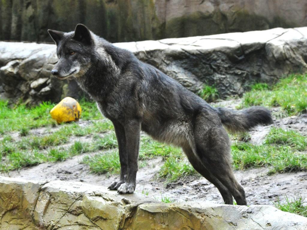 Восточный волк