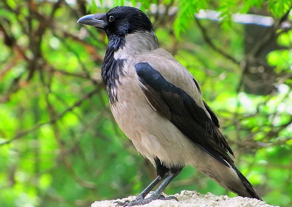 Ворона – описание, особенности, ареал, размножение, виды, питание, образ жизни