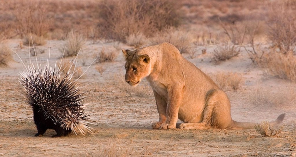 Львица и дикобраз